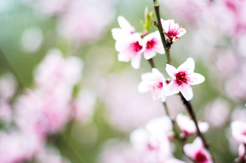 cherryblossom-tree-flower-claudialeclercq
