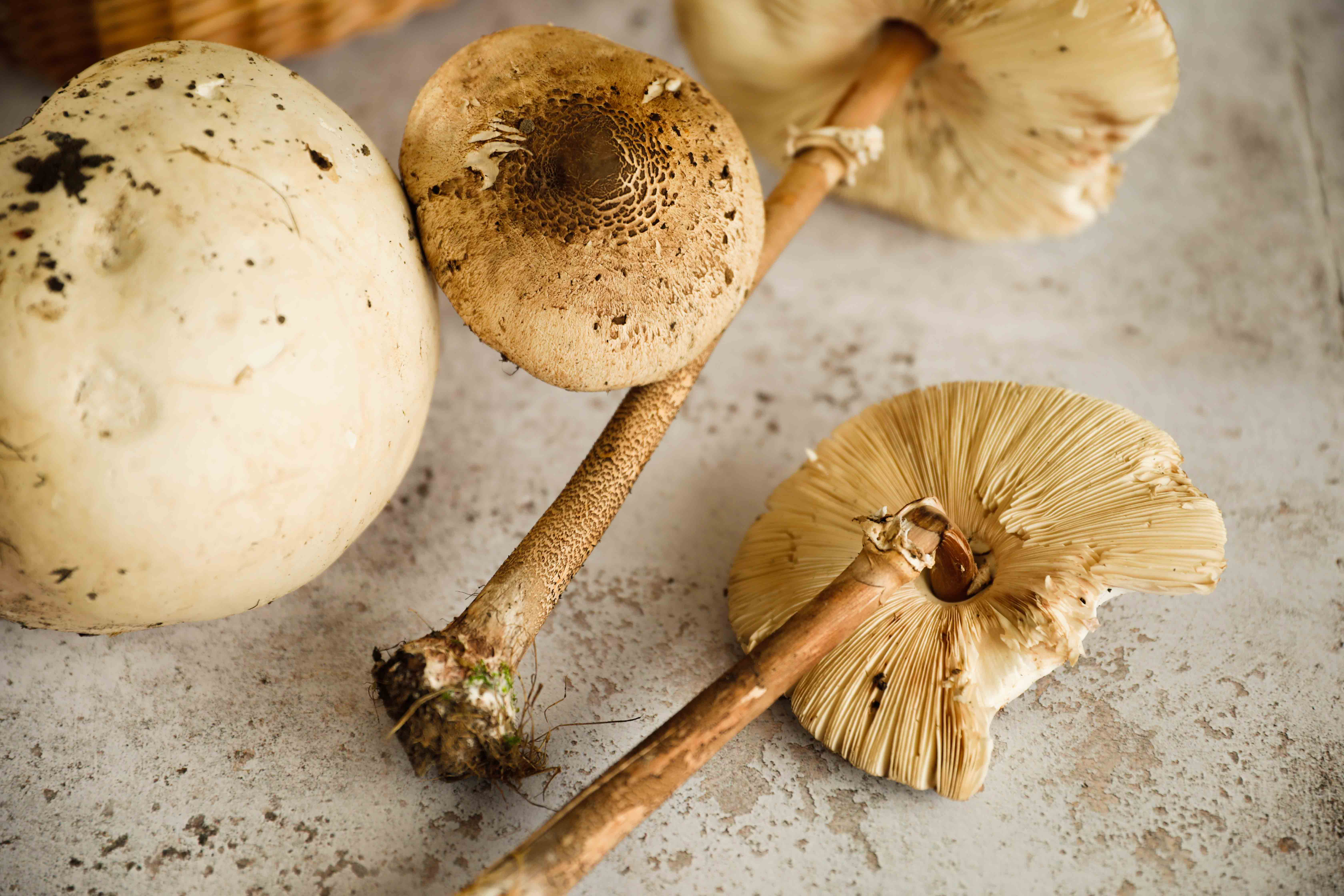 claudialeclercq-edible mushrooms-champignons comestibles_-7