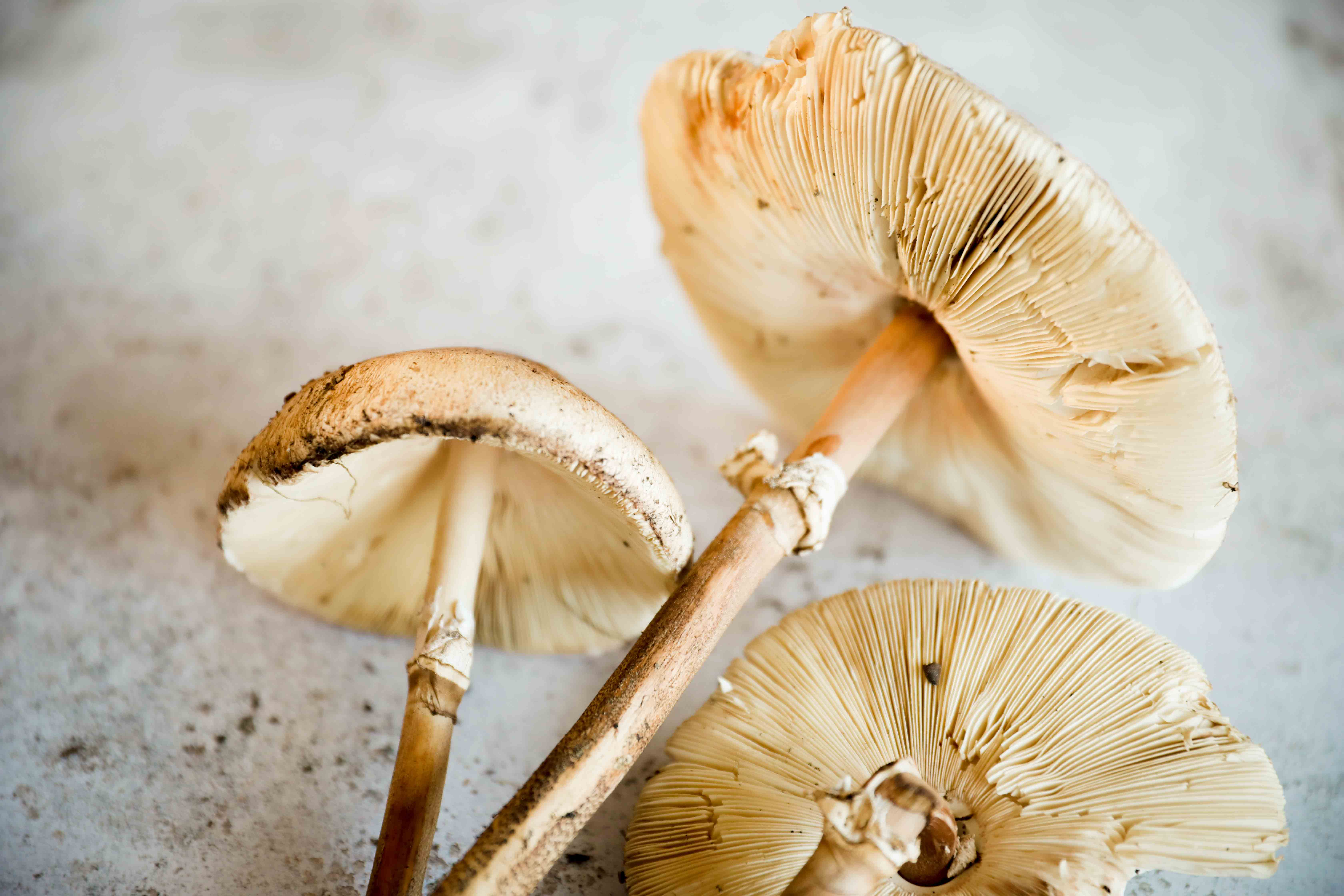 claudialeclercq-edible mushrooms-champignons comestibles_-9